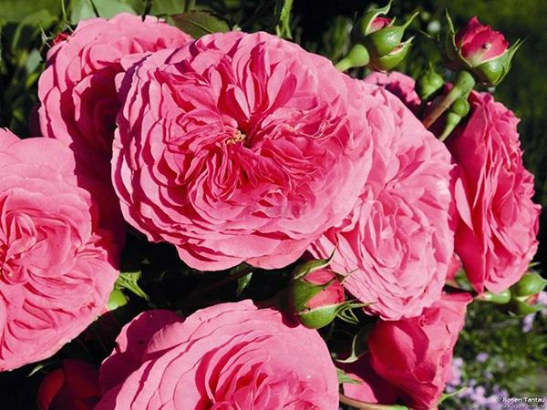 Cách Chăm sóc Hoa hồng leo Baronesse rose đơn giản
