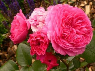 hoa hong Baronesse rose 6a