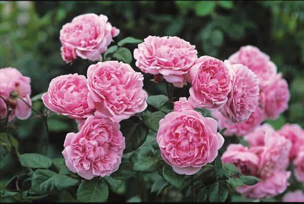 Cây Hoa hồng Bishop Castle  phát triển khỏe mạnh với những chùm hoa lớn