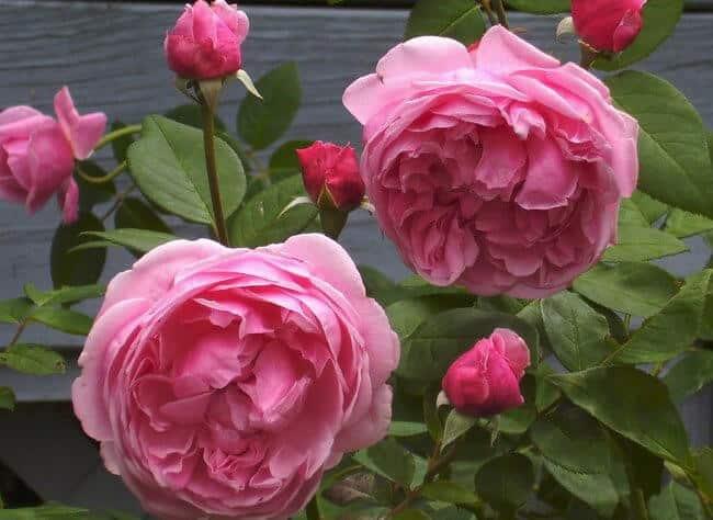 Hoa hồng Bishop Castle xinh đẹp