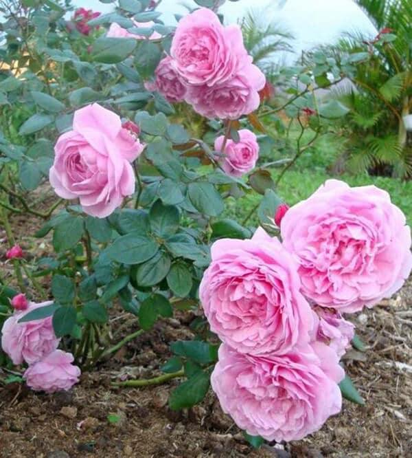 chăm sóc những cây Hoa hồng Bishop Castle nở hoa quanh năm