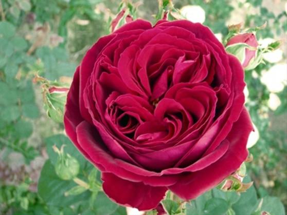 Hoa hồng leo Gospel  màu sắc tuyệt vời