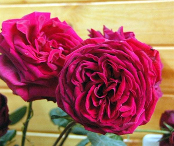 Hoa hồng leo Gospel