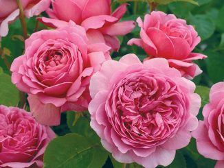 hoa hong leo Alexandra of Kent Rose 4 600x550 1