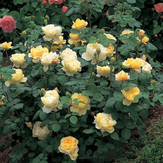 vẻ đẹp của những Hoa hồng Charles Darwin Rose đẹp nhất