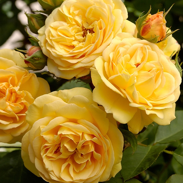 chăm sóc Hoa hồng Charles Darwin Rose
