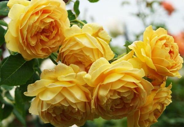 Hoa hồng Charles Darwin Rose