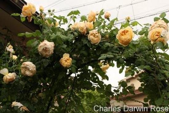 Hoa hồng Charles Darwin Rose đẹp nhất