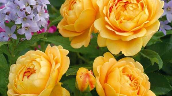 loài hoa hồng vàng Golden Celebration Rose
