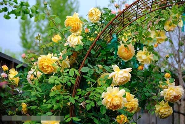 một sự lựa chọn tốt nhất về loài hoa hồng vàng Golden Celebration Rose