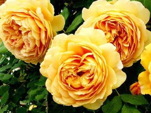Hoa hồng leo Golden Celebration Rose màu vàng khoe sắc và hương thơm