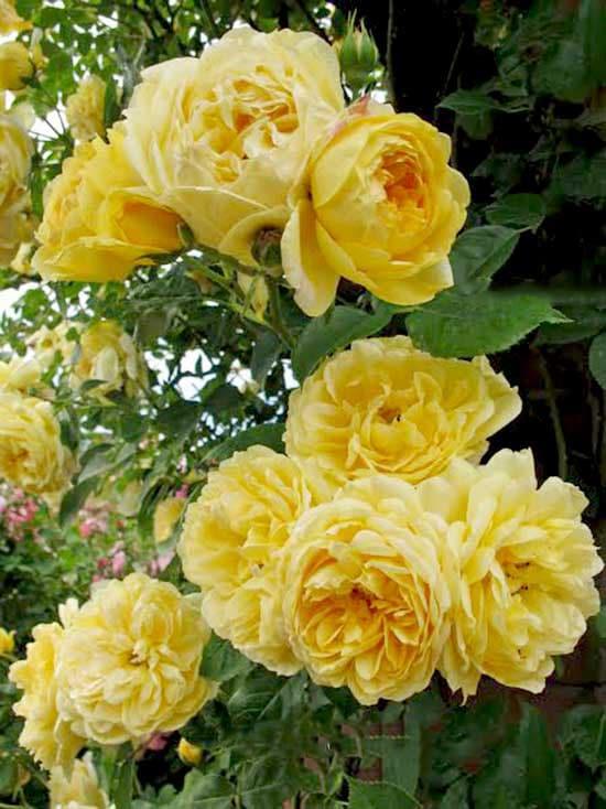 Cách Chăm sóc Hoa hồng leo Golden Celebration Rose