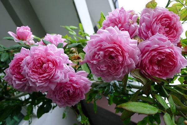 Hoa hồng leo Huntington Rose mang đến môt vẻ đẹp mới lạ