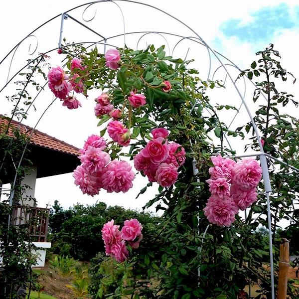 mái vòm Hoa hồng leo Huntington Rose nở đẹp quanh nhà
