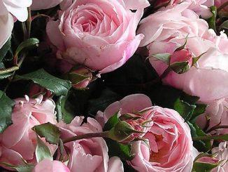 hoa hong leo Nahema rose 5