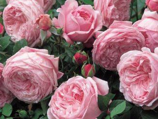 hoa hong leo Spirit of freedom Rose 3 1