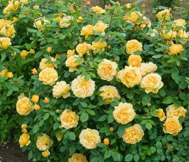 Hoa hồng leo Golden Celebration Rose màu vàng đẹp nhất