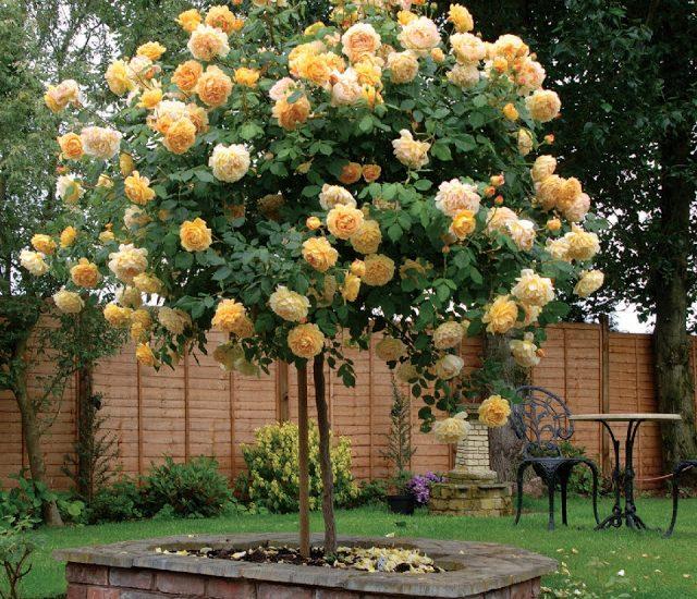 cây hoa hông cổ thụGolden Celebration Rose