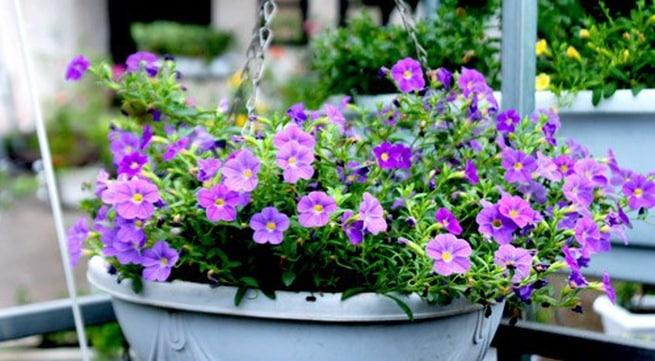 Cách trồng và chăm sóc hoa triệu chuông