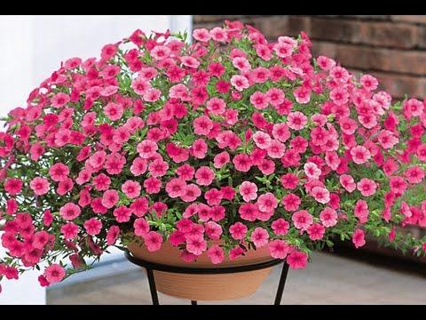 hãy cho thấy những chậu hoa triệu chuông đẹp