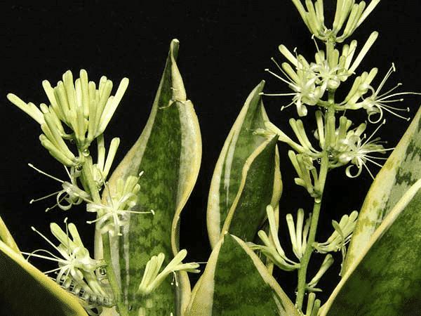 Cách chăm sóc cây lưỡi hổ ra hoa