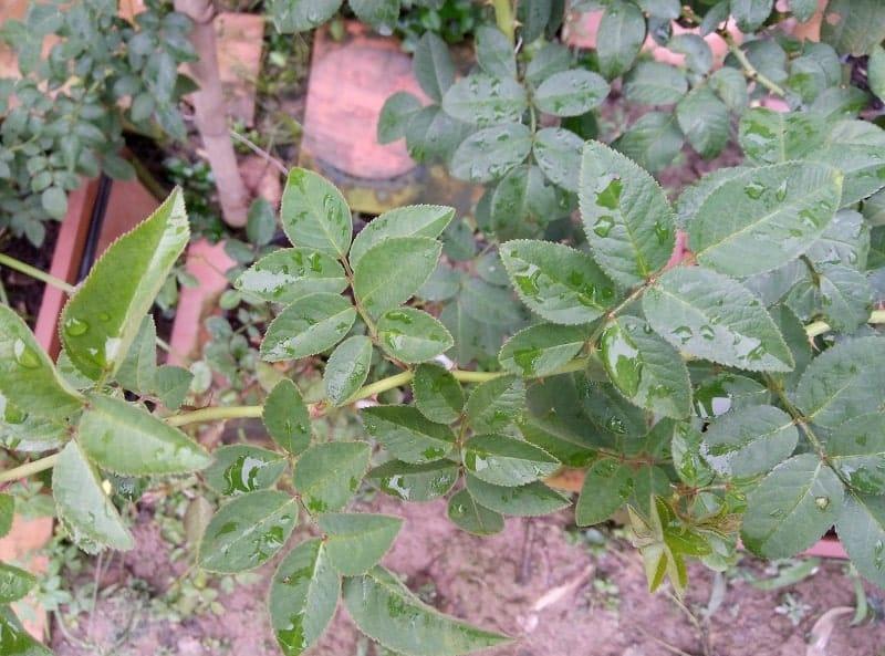 cây tầm xuân và cách phân biệt