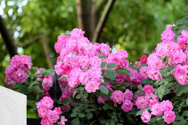 cây hoa tầm xuân nở hoa