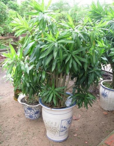 cây trúc bách hợp trồng chậu