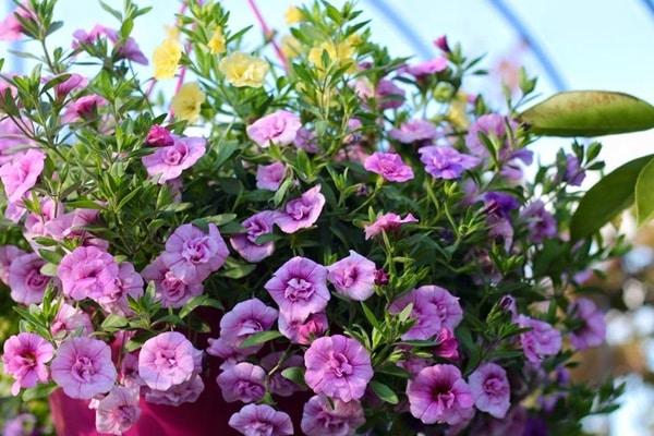hoa dạ yến thảo khoe sắc đẹp bên ban trông