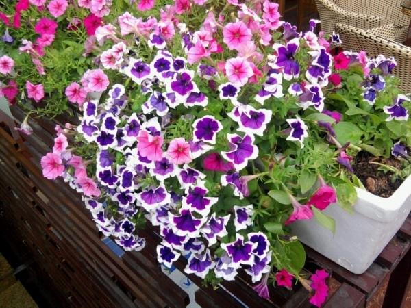 hoa dạ yến thảo phát triển trên chậu đẹp