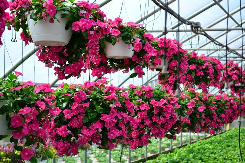 những chậu hoa dạ yến thảo xếp thẳng hàng