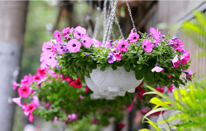 những chậu hoa dạ yến thảo tuyệt vời