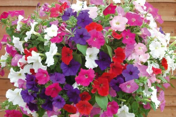 chậu hoa dạ yến thảo đẹp nhất