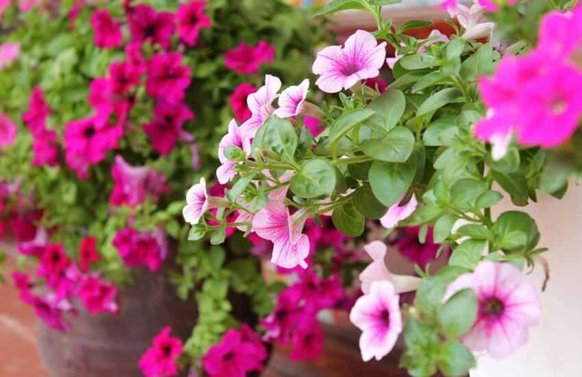 những bông hoa dạ yến thảo khoe sắc