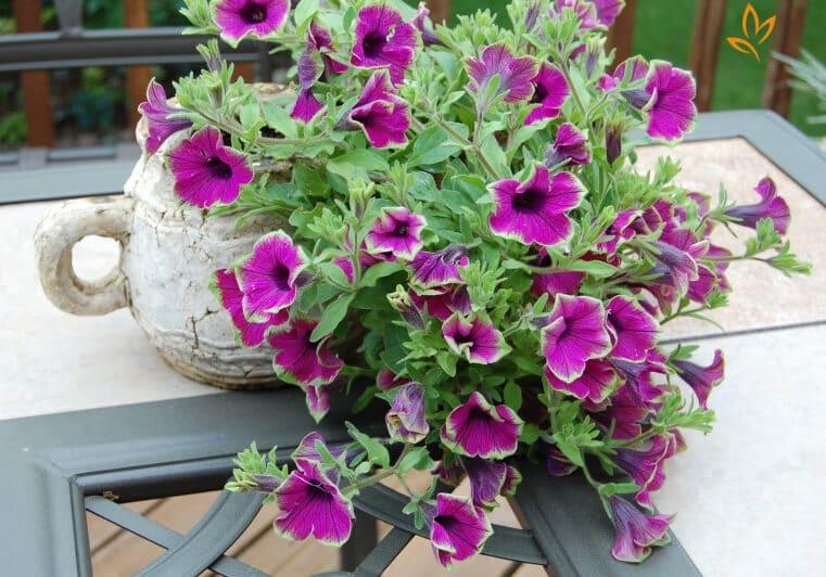 cây hoa dạ yến thảo phát triển