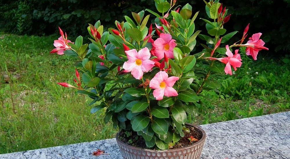 cây hoa hồng anh trồng chậu