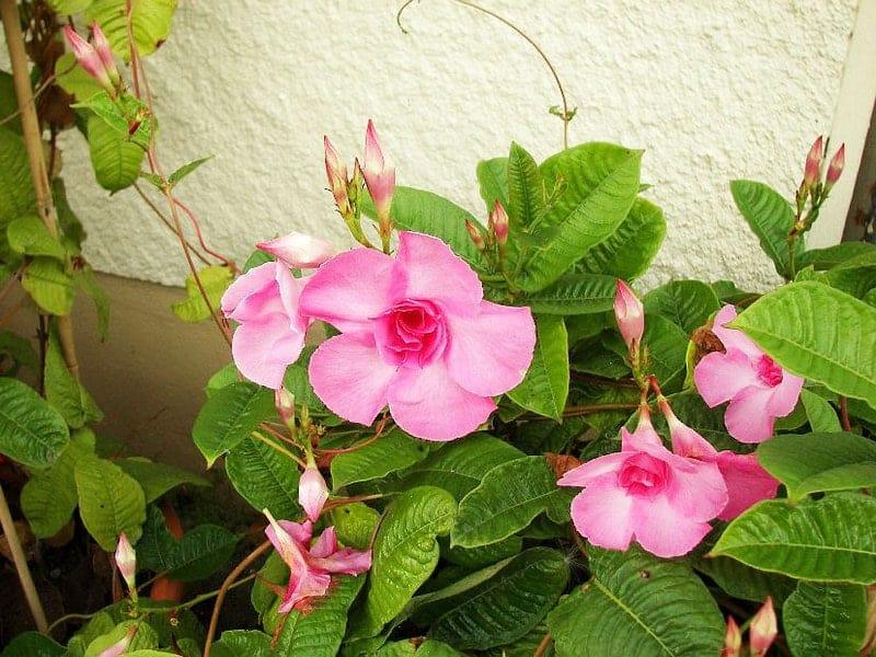cách chăm sóc và trồng hoa hồng anh rực rỡ