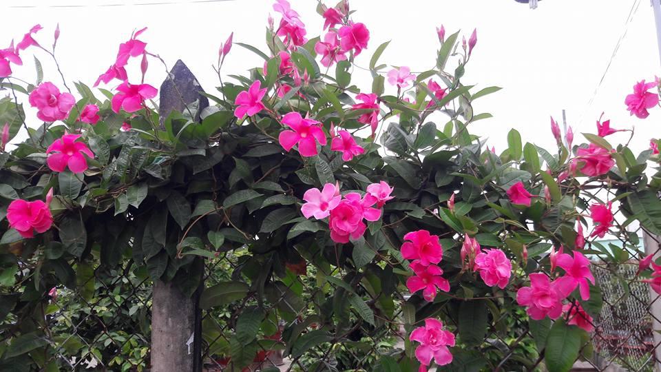 cây hoa hồng anh trồng leo bờ rào