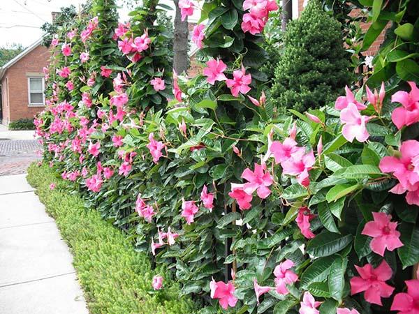 vẻ đẹp của cây hồng anh