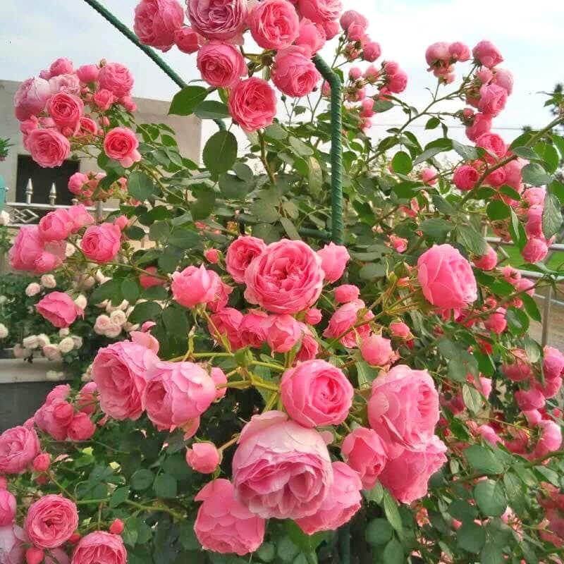 cây hoa hồng leo pháp trên ban công