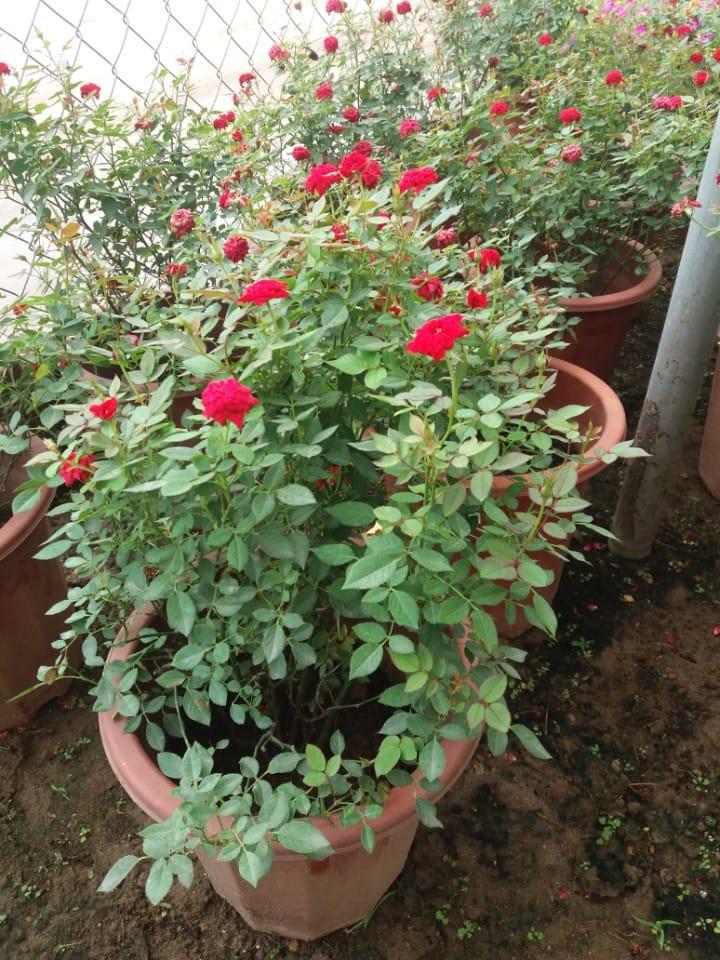 Hướng dẫn cách trồng cây hoa hồng tỉ muội tại nhà đẹp