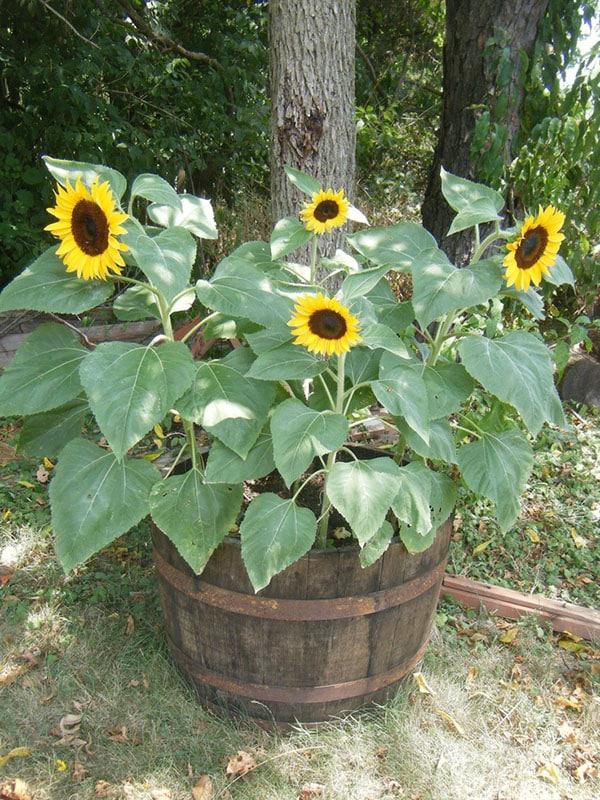 hoa hướng dương trồng trên chậu