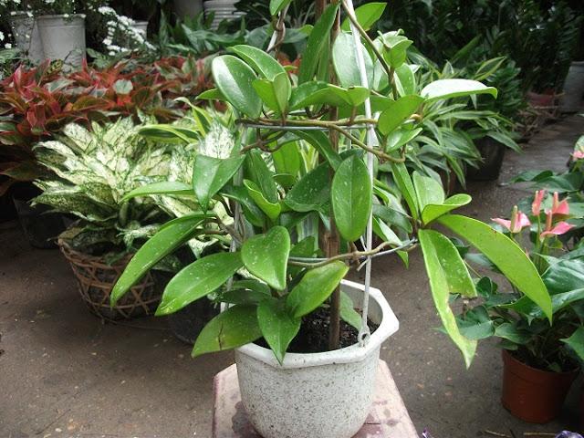 cây hoa lan cẩm cù trồng chậu