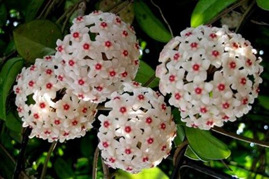 những bông hoa lan cẩm cù tuyệt vời