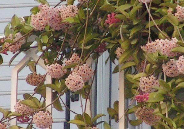 hoa lan cẩm cù nở rộ