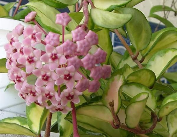 cây hoa lan cẩm cù ra hoa đẹp