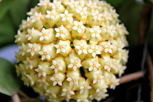 bông hoa lan cẩm cù cận cảnh đẹp