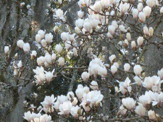 hoa moc lan 9