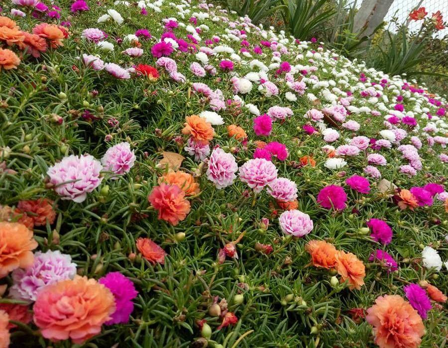 những khu vườn đầy ắp hoa mười giờ đẹp