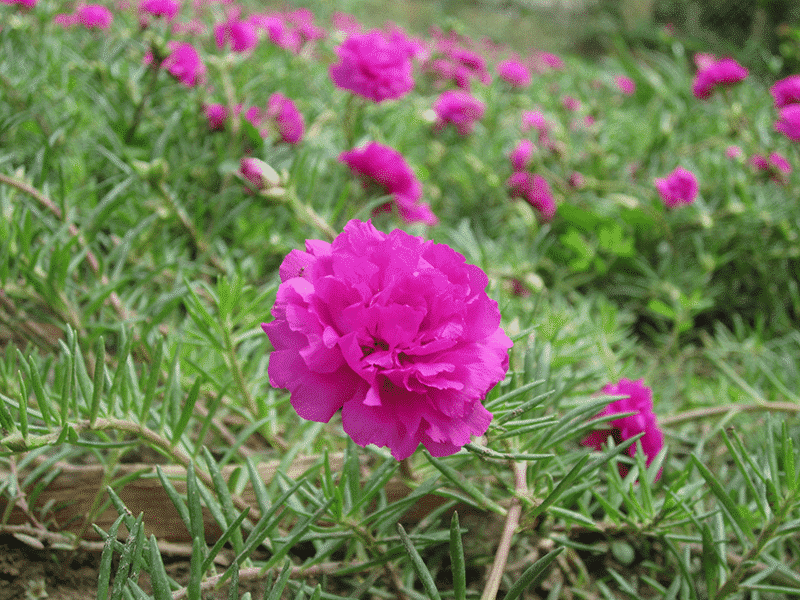 bông hoa mười giờ khoe sắc trước nắng và gió